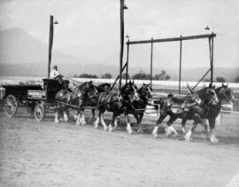Six-horse team pulling Woodward's wagon on Hastings Park race track