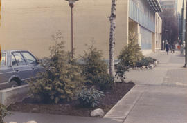 Replanted new trees, landscaped by Pieter Molenaar [at 1477 West Pender Street]