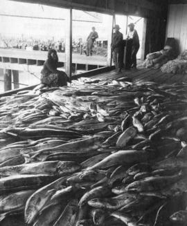 Fish on Cannery Wharf, Fraser River