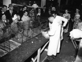 Rabbit being examined in pet stock competition