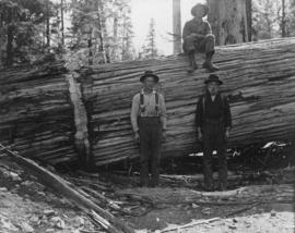 [Three loggers posing with fallen tree]