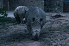 Wildlife : rhinoceros, Chester Zoo
