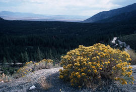 Chrysothamnus nauseosus : rabbitbrush, pass on route to Tahoe, Great Basin