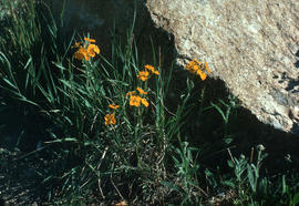 Erysimum : wallflower