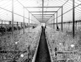 [Interior of carnation greenhouse Brown Bros. Florists]