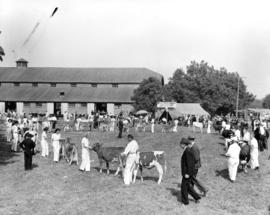 Youths and cattle in Boys' and Girls' Department event