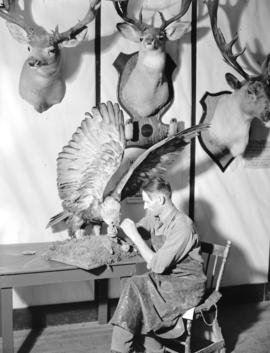 [Taxidermist, John Lestin, at work on a bird of prey], Prince George, B.C.