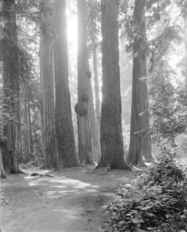 """Seven sisters"" [group of trees at] Stanley Park"
