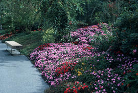 Landscape - bedding and borders : Rosacea Impatiens