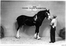 Man with groomed draft horse in Livestock building