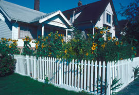 Gardens - Canada : sunflowers and cottage