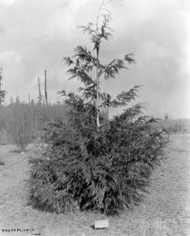 Thuja Plicata soon after transference from Essondale Nursery to Point Grey [U.B.C.]