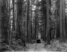 The Forest Before Logging