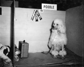 Prize-winning poodle in dog show stall