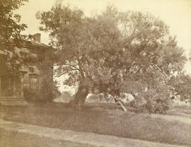 [A large tree in front of an unidentified house]