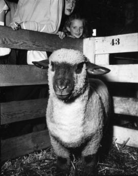 Children looking at white sheep in pen