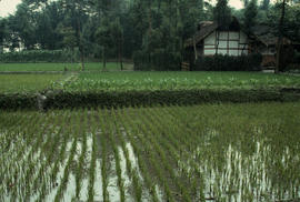Geographical : Rice paddies, en route to Green Wall