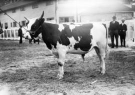 Grandview Decision, Grand Champion Ayrshire, owned by Shannon brothers