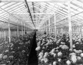 [Interior of chrysanthemum greenhouse, Brown Bros. Florists]