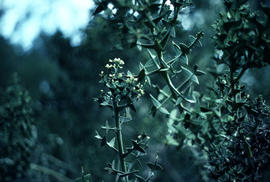 Colletia cruciata at Berkeley B[otanical] G[arden]