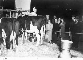 Demonstration of mechanical cow milking machine