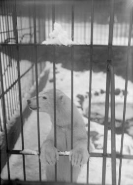 Polar bear cub in an enclosure [Stanley Park?]