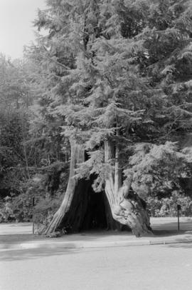 Stanley Park, hollow tree