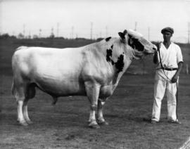 Man with light-colored bull