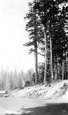 Tall trees near Second Beach taken by a prairie sod buster