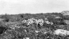 [Arctic daisies on the tundra near Coronation Gulf]