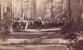 [Team of oxen hauling logs on skid road in Kitsilano]