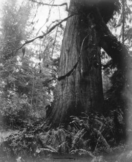 [A man standing beside a huge cedar tree]