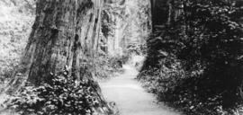 [Walking path among tall trees in] Stanley Park