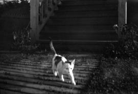 [Taylor family cat in yard of home at Willow Street and 8th Avenue in Fairview]