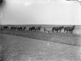 Breaking the prairie of the Canadian A.C. and C. Co.'s farm at Stair, N.W.T.