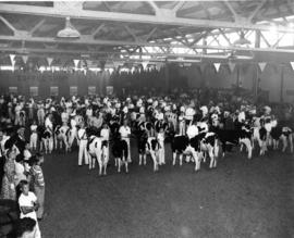 Junior Farmers livestock competition in Livestock building