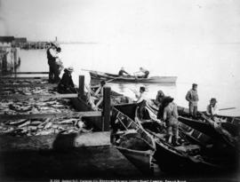 Anglo-B.C. Packing Co. Receiving Salmon, Garry Point Cannery Fraser River