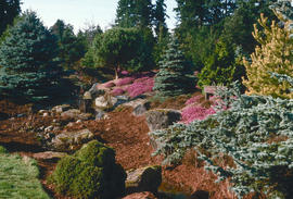 Dwarf conifers : heather garden
