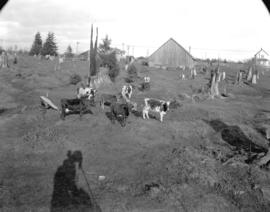 [Cattle at Shannon's Farm, Granville Street and 57th Avenue]