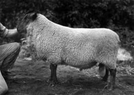 Suffolk ram in sheep competition