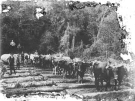 [Men using team of oxen to drag large logs down a skid road in Kitsilano area]