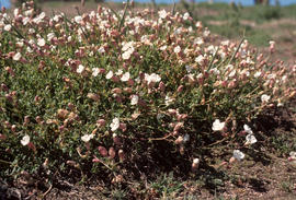 Silene martima : sea campion, Corbiere Point