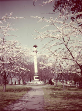 Japanese cherry trees, Stanley Park; 1950