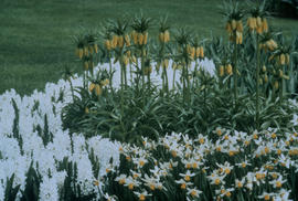 Landscape - bedding and borders : white and yellow Fritillaria, Hyacinths and Narcissus sparkle l...