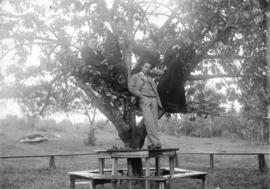 [Men and women in tree in Tom Turner's orchard, Moodyville (North Vancouver)]