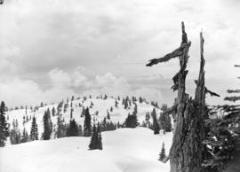 [View of] trees on Mt. Seymour