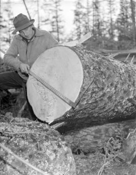 [Measuring a felled tree for] Pacific Mills [on the] Queen Charlotte Islands