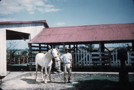 Stables [Man posing with white horse]