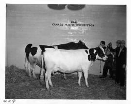 Two cattle in Livestock building