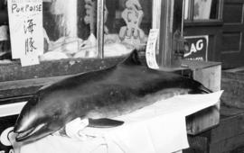 [A porpoise on display outside Hong Kong Importing Company Limited at 149 Pender Street]